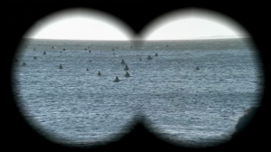 Shark fins seen through binoculars